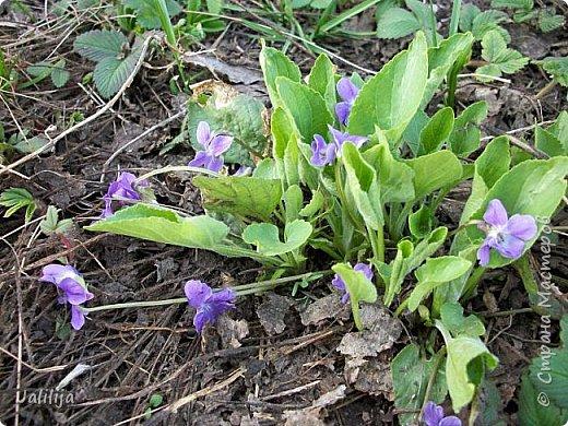 Многоуважаемая Страна!  Мой очередной репортаж из природы. У меня, наконец, расцвели представители всех виол, которые у меня есть в саду. У нас в Башкирии в этом году ранняя весна, иначе бы их ещё не было. Я поняла по комментариям к предыдущему репортажу, среди нас есть любительницы виол. Смотрите и наслаждайтесь. фото 33