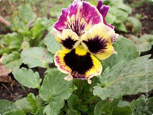 Многоуважаемая Страна!  Мой очередной репортаж из природы. У меня, наконец, расцвели представители всех виол, которые у меня есть в саду. У нас в Башкирии в этом году ранняя весна, иначе бы их ещё не было. Я поняла по комментариям к предыдущему репортажу, среди нас есть любительницы виол. Смотрите и наслаждайтесь. фото 5