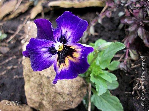 Многоуважаемая Страна!  Мой очередной репортаж из природы. У меня, наконец, расцвели представители всех виол, которые у меня есть в саду. У нас в Башкирии в этом году ранняя весна, иначе бы их ещё не было. Я поняла по комментариям к предыдущему репортажу, среди нас есть любительницы виол. Смотрите и наслаждайтесь. фото 12