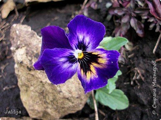 Многоуважаемая Страна!  Мой очередной репортаж из природы. У меня, наконец, расцвели представители всех виол, которые у меня есть в саду. У нас в Башкирии в этом году ранняя весна, иначе бы их ещё не было. Я поняла по комментариям к предыдущему репортажу, среди нас есть любительницы виол. Смотрите и наслаждайтесь. фото 13