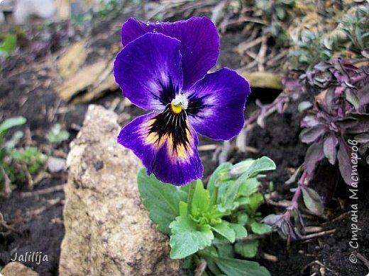 Многоуважаемая Страна!  Мой очередной репортаж из природы. У меня, наконец, расцвели представители всех виол, которые у меня есть в саду. У нас в Башкирии в этом году ранняя весна, иначе бы их ещё не было. Я поняла по комментариям к предыдущему репортажу, среди нас есть любительницы виол. Смотрите и наслаждайтесь. фото 15
