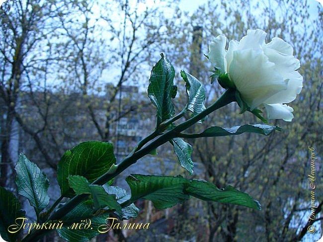 Всем доброго времени суток!) Сегодня я с очередными розами, фотографий много). Хотелось показать со всех ракурсов очередные творения очумелых ручек)  Белая роза. На самом деле она не совсем белая, добавила к белилам совсем капельку лимонно-желтого для еле заметного оттенка. Если лепить только с белилами получается не естественный цвет. Общая высота примерно 58 см, форма бутона - полураскрытый.  фото 10