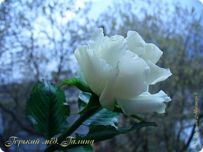 Всем доброго времени суток!) Сегодня я с очередными розами, фотографий много). Хотелось показать со всех ракурсов очередные творения очумелых ручек)  Белая роза. На самом деле она не совсем белая, добавила к белилам совсем капельку лимонно-желтого для еле заметного оттенка. Если лепить только с белилами получается не естественный цвет. Общая высота примерно 58 см, форма бутона - полураскрытый.  фото 11