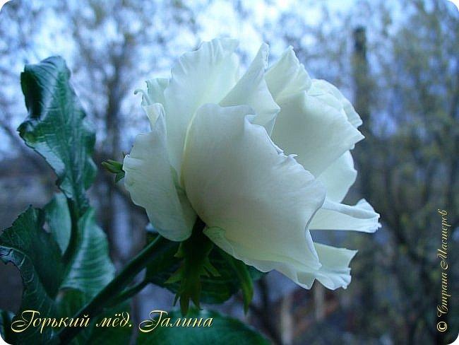Всем доброго времени суток!) Сегодня я с очередными розами, фотографий много). Хотелось показать со всех ракурсов очередные творения очумелых ручек)  Белая роза. На самом деле она не совсем белая, добавила к белилам совсем капельку лимонно-желтого для еле заметного оттенка. Если лепить только с белилами получается не естественный цвет. Общая высота примерно 58 см, форма бутона - полураскрытый.  фото 12
