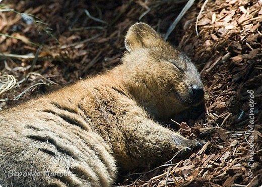 Я хочу рассказать о удивительном Австралийском зверьке - Квокке. Это единственный зверь на планете который умеет улыбаться!!! фото 2