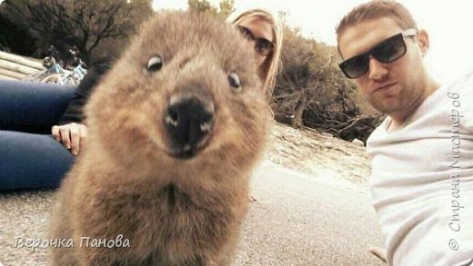Я хочу рассказать о удивительном Австралийском зверьке - Квокке. Это единственный зверь на планете который умеет улыбаться!!! фото 3
