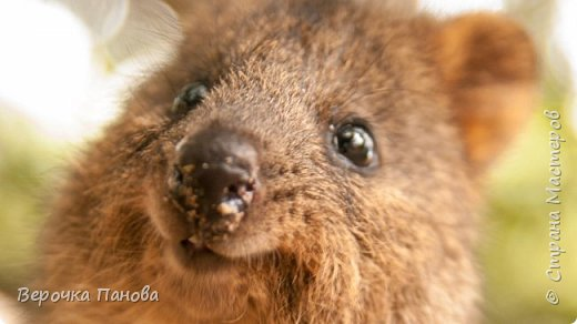 Я хочу рассказать о удивительном Австралийском зверьке - Квокке. Это единственный зверь на планете который умеет улыбаться!!! фото 1