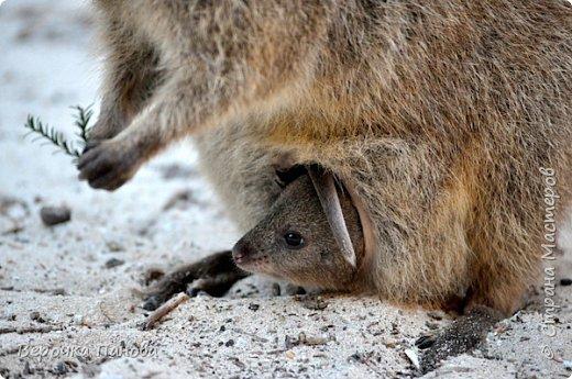 Я хочу рассказать о удивительном Австралийском зверьке - Квокке. Это единственный зверь на планете который умеет улыбаться!!! фото 4