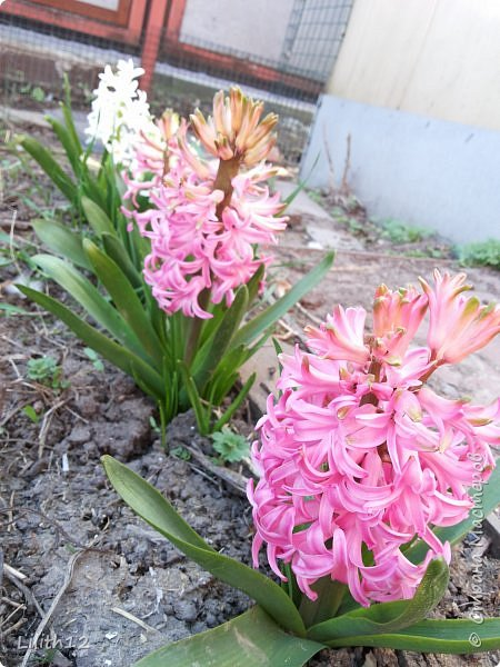 По семейным обстоятельствам пришлось провести месяц в г.Таганроге. И да, весна на юге куда интереснее нашей тюменской весны. На фото то, что мне удалось запечатлеть на память. Эта красота от пробуждения природы от зимнего сна. Крокусы, подснежники этого региона, одни из первых цветов, что мне удалось созерцать... фото 4