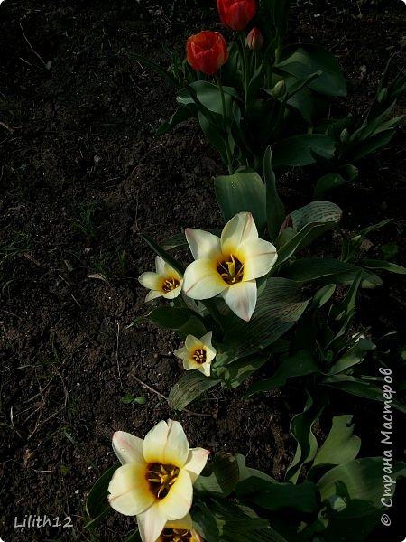 По семейным обстоятельствам пришлось провести месяц в г.Таганроге. И да, весна на юге куда интереснее нашей тюменской весны. На фото то, что мне удалось запечатлеть на память. Эта красота от пробуждения природы от зимнего сна. Крокусы, подснежники этого региона, одни из первых цветов, что мне удалось созерцать... фото 11