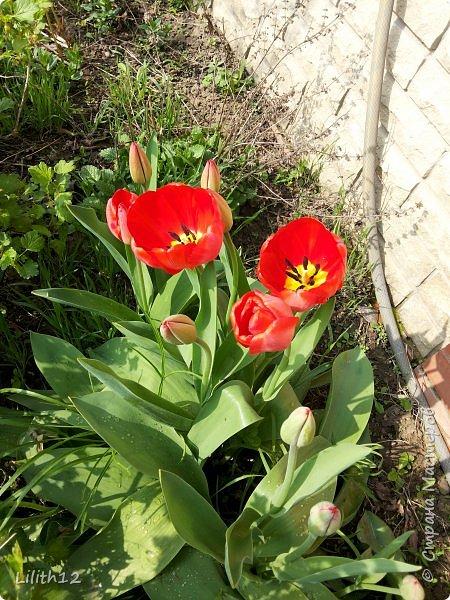 По семейным обстоятельствам пришлось провести месяц в г.Таганроге. И да, весна на юге куда интереснее нашей тюменской весны. На фото то, что мне удалось запечатлеть на память. Эта красота от пробуждения природы от зимнего сна. Крокусы, подснежники этого региона, одни из первых цветов, что мне удалось созерцать... фото 10