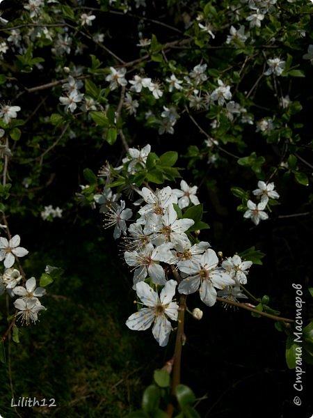 По семейным обстоятельствам пришлось провести месяц в г.Таганроге. И да, весна на юге куда интереснее нашей тюменской весны. На фото то, что мне удалось запечатлеть на память. Эта красота от пробуждения природы от зимнего сна. Крокусы, подснежники этого региона, одни из первых цветов, что мне удалось созерцать... фото 21