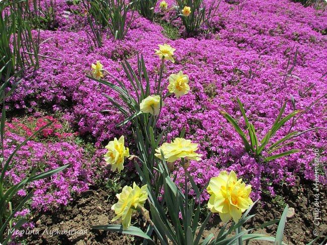 Крымский апрель - красавчик!!!!  Радует нас теплой погодкой, разнообразными цветочками и их невероятными ароматами!!!!  Очень хочеться остановить это апрельское мгновение, но так как это невозможно, запечатляем всё, что только можно, на фотоаппарат и сохраняем в любимой Стране Мастеров....  Это зацвела позавчера у нас во дворе красотка -сирень.... фото 13