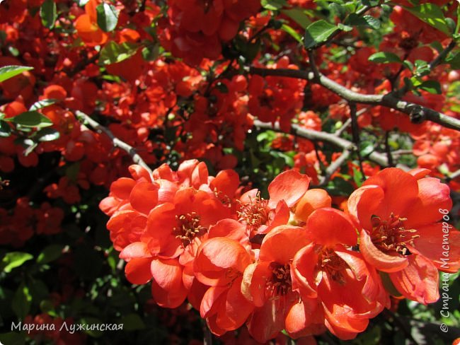 Крымский апрель - красавчик!!!!  Радует нас теплой погодкой, разнообразными цветочками и их невероятными ароматами!!!!  Очень хочеться остановить это апрельское мгновение, но так как это невозможно, запечатляем всё, что только можно, на фотоаппарат и сохраняем в любимой Стране Мастеров....  Это зацвела позавчера у нас во дворе красотка -сирень.... фото 7