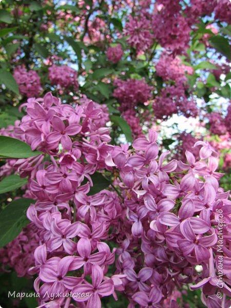 Крымский апрель - красавчик!!!!  Радует нас теплой погодкой, разнообразными цветочками и их невероятными ароматами!!!!  Очень хочеться остановить это апрельское мгновение, но так как это невозможно, запечатляем всё, что только можно, на фотоаппарат и сохраняем в любимой Стране Мастеров....  Это зацвела позавчера у нас во дворе красотка -сирень.... фото 1