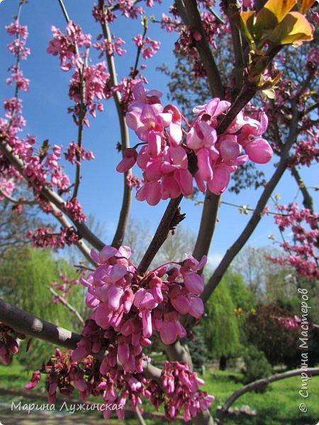 Крымский апрель - красавчик!!!!  Радует нас теплой погодкой, разнообразными цветочками и их невероятными ароматами!!!!  Очень хочеться остановить это апрельское мгновение, но так как это невозможно, запечатляем всё, что только можно, на фотоаппарат и сохраняем в любимой Стране Мастеров....  Это зацвела позавчера у нас во дворе красотка -сирень.... фото 38