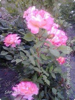 """Это роза Августа Луиза. Одна из  давно желаемых. Огромные воланы цветов и прекрасные переливы цвета от нежно розового на краю """"юбочки"""" и заканчивая шампанским у основания сделали ее фавориткой сада. Эту розу нельзя не заметить и не полюбить. Думаю, она есть у каждого любителя роз. фото 2"""