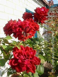 """Это роза Августа Луиза. Одна из  давно желаемых. Огромные воланы цветов и прекрасные переливы цвета от нежно розового на краю """"юбочки"""" и заканчивая шампанским у основания сделали ее фавориткой сада. Эту розу нельзя не заметить и не полюбить. Думаю, она есть у каждого любителя роз. фото 4"""