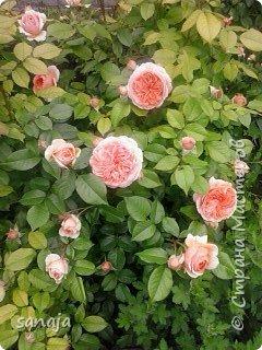 """Это роза Августа Луиза. Одна из  давно желаемых. Огромные воланы цветов и прекрасные переливы цвета от нежно розового на краю """"юбочки"""" и заканчивая шампанским у основания сделали ее фавориткой сада. Эту розу нельзя не заметить и не полюбить. Думаю, она есть у каждого любителя роз. фото 18"""