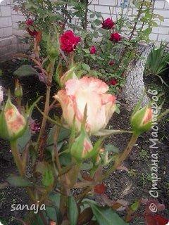 """Это роза Августа Луиза. Одна из  давно желаемых. Огромные воланы цветов и прекрасные переливы цвета от нежно розового на краю """"юбочки"""" и заканчивая шампанским у основания сделали ее фавориткой сада. Эту розу нельзя не заметить и не полюбить. Думаю, она есть у каждого любителя роз. фото 6"""