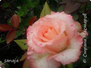 """Это роза Августа Луиза. Одна из  давно желаемых. Огромные воланы цветов и прекрасные переливы цвета от нежно розового на краю """"юбочки"""" и заканчивая шампанским у основания сделали ее фавориткой сада. Эту розу нельзя не заметить и не полюбить. Думаю, она есть у каждого любителя роз. фото 7"""