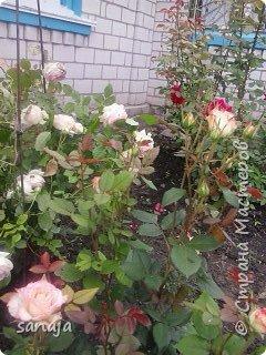 """Это роза Августа Луиза. Одна из  давно желаемых. Огромные воланы цветов и прекрасные переливы цвета от нежно розового на краю """"юбочки"""" и заканчивая шампанским у основания сделали ее фавориткой сада. Эту розу нельзя не заметить и не полюбить. Думаю, она есть у каждого любителя роз. фото 20"""