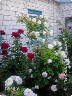 """Это роза Августа Луиза. Одна из  давно желаемых. Огромные воланы цветов и прекрасные переливы цвета от нежно розового на краю """"юбочки"""" и заканчивая шампанским у основания сделали ее фавориткой сада. Эту розу нельзя не заметить и не полюбить. Думаю, она есть у каждого любителя роз. фото 21"""