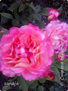 """Это роза Августа Луиза. Одна из  давно желаемых. Огромные воланы цветов и прекрасные переливы цвета от нежно розового на краю """"юбочки"""" и заканчивая шампанским у основания сделали ее фавориткой сада. Эту розу нельзя не заметить и не полюбить. Думаю, она есть у каждого любителя роз. фото 1"""