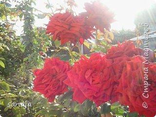 """Это роза Августа Луиза. Одна из  давно желаемых. Огромные воланы цветов и прекрасные переливы цвета от нежно розового на краю """"юбочки"""" и заканчивая шампанским у основания сделали ее фавориткой сада. Эту розу нельзя не заметить и не полюбить. Думаю, она есть у каждого любителя роз. фото 3"""