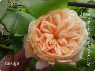 """Это роза Августа Луиза. Одна из  давно желаемых. Огромные воланы цветов и прекрасные переливы цвета от нежно розового на краю """"юбочки"""" и заканчивая шампанским у основания сделали ее фавориткой сада. Эту розу нельзя не заметить и не полюбить. Думаю, она есть у каждого любителя роз. фото 9"""