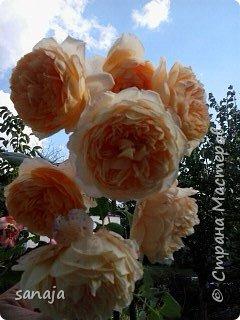 """Это роза Августа Луиза. Одна из  давно желаемых. Огромные воланы цветов и прекрасные переливы цвета от нежно розового на краю """"юбочки"""" и заканчивая шампанским у основания сделали ее фавориткой сада. Эту розу нельзя не заметить и не полюбить. Думаю, она есть у каждого любителя роз. фото 10"""