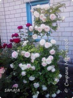 """Это роза Августа Луиза. Одна из  давно желаемых. Огромные воланы цветов и прекрасные переливы цвета от нежно розового на краю """"юбочки"""" и заканчивая шампанским у основания сделали ее фавориткой сада. Эту розу нельзя не заметить и не полюбить. Думаю, она есть у каждого любителя роз. фото 11"""
