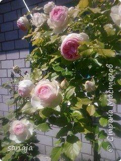 """Это роза Августа Луиза. Одна из  давно желаемых. Огромные воланы цветов и прекрасные переливы цвета от нежно розового на краю """"юбочки"""" и заканчивая шампанским у основания сделали ее фавориткой сада. Эту розу нельзя не заметить и не полюбить. Думаю, она есть у каждого любителя роз. фото 13"""