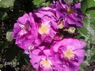 """Это роза Августа Луиза. Одна из  давно желаемых. Огромные воланы цветов и прекрасные переливы цвета от нежно розового на краю """"юбочки"""" и заканчивая шампанским у основания сделали ее фавориткой сада. Эту розу нельзя не заметить и не полюбить. Думаю, она есть у каждого любителя роз. фото 14"""