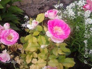 """Это роза Августа Луиза. Одна из  давно желаемых. Огромные воланы цветов и прекрасные переливы цвета от нежно розового на краю """"юбочки"""" и заканчивая шампанским у основания сделали ее фавориткой сада. Эту розу нельзя не заметить и не полюбить. Думаю, она есть у каждого любителя роз. фото 15"""
