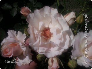 """Это роза Августа Луиза. Одна из  давно желаемых. Огромные воланы цветов и прекрасные переливы цвета от нежно розового на краю """"юбочки"""" и заканчивая шампанским у основания сделали ее фавориткой сада. Эту розу нельзя не заметить и не полюбить. Думаю, она есть у каждого любителя роз. фото 17"""