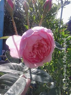 """Это роза Августа Луиза. Одна из  давно желаемых. Огромные воланы цветов и прекрасные переливы цвета от нежно розового на краю """"юбочки"""" и заканчивая шампанским у основания сделали ее фавориткой сада. Эту розу нельзя не заметить и не полюбить. Думаю, она есть у каждого любителя роз. фото 8"""