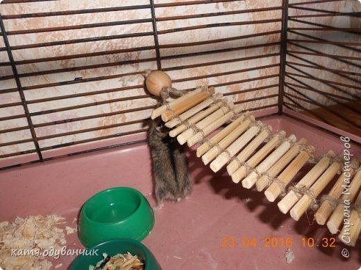 вот такую лестницу сделала сегодня нашему новому жителю!это джунгарик и зовут его Пипи!так назвали его детки=)лестница из палочек для суши,палочки я распилила и спилы обработала наждачной бумагой,потом нашла 2 деревянные бусинки и кусочек веревки.вот только Пипи с него падает пришлось подставить под лесенку трубу(она из веревки сама сшила) фото 1