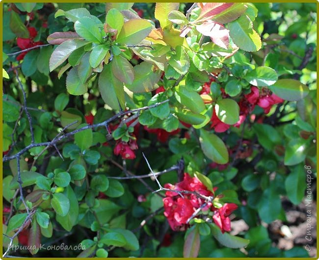 Добрый вечер, предлагаю для просмотра еще фотографии цветущего парка, Прогулка состоялась где-то 15 апреля. Весь парк в цветущих розовых и желтых деревьях. Розовый это индийский люляк. Болгары называют его иудой. А желтая и белая - глицинии (если не ошибаюсь). Еще не отцвели тюльпаны. фото 24