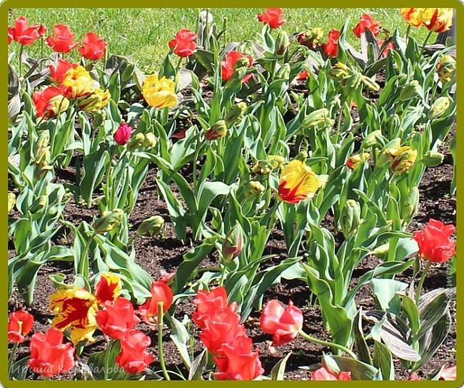 Добрый вечер, предлагаю для просмотра еще фотографии цветущего парка, Прогулка состоялась где-то 15 апреля. Весь парк в цветущих розовых и желтых деревьях. Розовый это индийский люляк. Болгары называют его иудой. А желтая и белая - глицинии (если не ошибаюсь). Еще не отцвели тюльпаны. фото 25