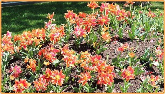 Добрый вечер, предлагаю для просмотра еще фотографии цветущего парка, Прогулка состоялась где-то 15 апреля. Весь парк в цветущих розовых и желтых деревьях. Розовый это индийский люляк. Болгары называют его иудой. А желтая и белая - глицинии (если не ошибаюсь). Еще не отцвели тюльпаны. фото 27