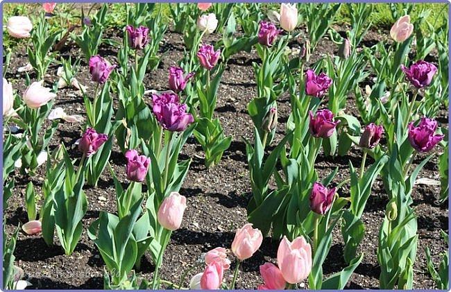 Добрый вечер, предлагаю для просмотра еще фотографии цветущего парка, Прогулка состоялась где-то 15 апреля. Весь парк в цветущих розовых и желтых деревьях. Розовый это индийский люляк. Болгары называют его иудой. А желтая и белая - глицинии (если не ошибаюсь). Еще не отцвели тюльпаны. фото 28