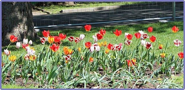 Добрый вечер, предлагаю для просмотра еще фотографии цветущего парка, Прогулка состоялась где-то 15 апреля. Весь парк в цветущих розовых и желтых деревьях. Розовый это индийский люляк. Болгары называют его иудой. А желтая и белая - глицинии (если не ошибаюсь). Еще не отцвели тюльпаны. фото 29