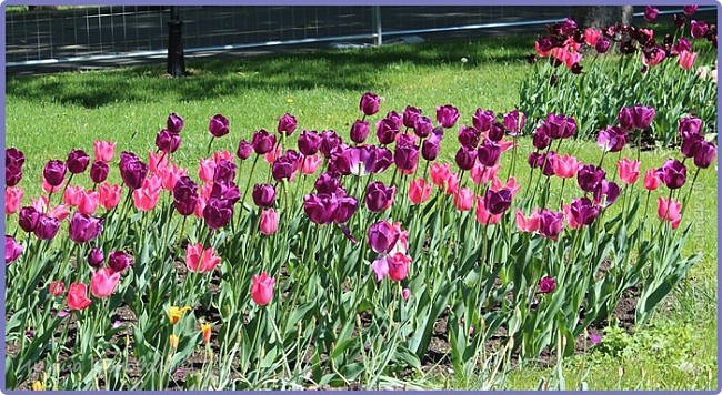 Добрый вечер, предлагаю для просмотра еще фотографии цветущего парка, Прогулка состоялась где-то 15 апреля. Весь парк в цветущих розовых и желтых деревьях. Розовый это индийский люляк. Болгары называют его иудой. А желтая и белая - глицинии (если не ошибаюсь). Еще не отцвели тюльпаны. фото 30