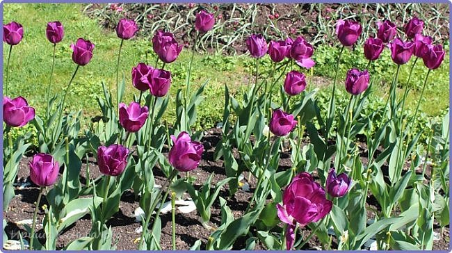 Добрый вечер, предлагаю для просмотра еще фотографии цветущего парка, Прогулка состоялась где-то 15 апреля. Весь парк в цветущих розовых и желтых деревьях. Розовый это индийский люляк. Болгары называют его иудой. А желтая и белая - глицинии (если не ошибаюсь). Еще не отцвели тюльпаны. фото 31