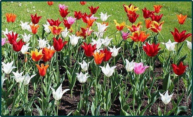 Добрый вечер, предлагаю для просмотра еще фотографии цветущего парка, Прогулка состоялась где-то 15 апреля. Весь парк в цветущих розовых и желтых деревьях. Розовый это индийский люляк. Болгары называют его иудой. А желтая и белая - глицинии (если не ошибаюсь). Еще не отцвели тюльпаны. фото 32