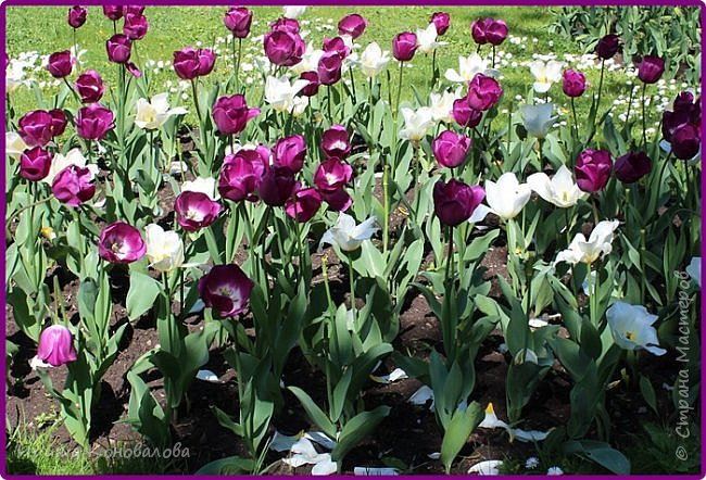 Добрый вечер, предлагаю для просмотра еще фотографии цветущего парка, Прогулка состоялась где-то 15 апреля. Весь парк в цветущих розовых и желтых деревьях. Розовый это индийский люляк. Болгары называют его иудой. А желтая и белая - глицинии (если не ошибаюсь). Еще не отцвели тюльпаны. фото 33
