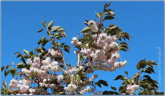 Добрый вечер, предлагаю для просмотра еще фотографии цветущего парка, Прогулка состоялась где-то 15 апреля. Весь парк в цветущих розовых и желтых деревьях. Розовый это индийский люляк. Болгары называют его иудой. А желтая и белая - глицинии (если не ошибаюсь). Еще не отцвели тюльпаны. фото 21