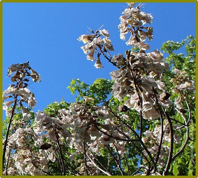 Добрый вечер, предлагаю для просмотра еще фотографии цветущего парка, Прогулка состоялась где-то 15 апреля. Весь парк в цветущих розовых и желтых деревьях. Розовый это индийский люляк. Болгары называют его иудой. А желтая и белая - глицинии (если не ошибаюсь). Еще не отцвели тюльпаны. фото 20