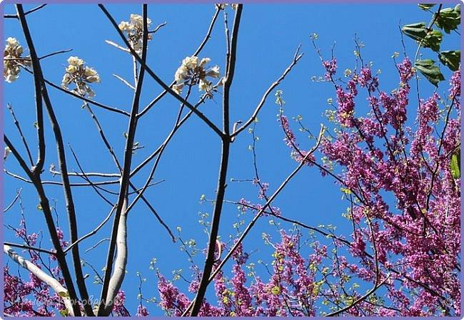 Добрый вечер, предлагаю для просмотра еще фотографии цветущего парка, Прогулка состоялась где-то 15 апреля. Весь парк в цветущих розовых и желтых деревьях. Розовый это индийский люляк. Болгары называют его иудой. А желтая и белая - глицинии (если не ошибаюсь). Еще не отцвели тюльпаны. фото 22